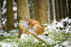 Eurasian lynx cub lying on tree trunk in winter colorful forest Royalty Free Stock Photography