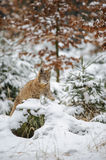 Eurasian lynx cub lying in winter colorful forest with snow Stock Images