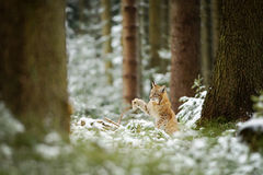 Eurasian lynx cub shaking down snow from paw Royalty Free Stock Photo