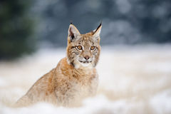 Eurasian lynx cub on sitting snowy ground Stock Photography
