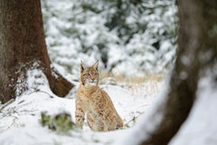 Eurasian lynx cub sitting in winter colorful forest with snow Stock Photo