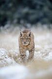 Eurasian lynx cub on snowy ground Stock Image
