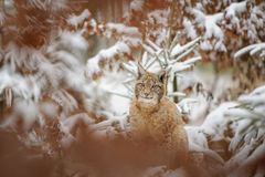 Eurasian lynx cub standing in winter colorful forest with snow Royalty Free Stock Photo