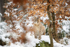 Eurasian lynx cub standing in winter colorful forest with snow Stock Images
