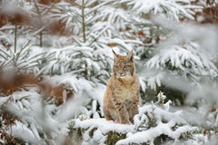 Eurasian lynx cub standing in winter colorful forest with snow Stock Image