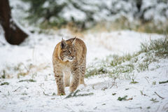 Eurasian lynx cub standing in winter colorful forest with snow Royalty Free Stock Images