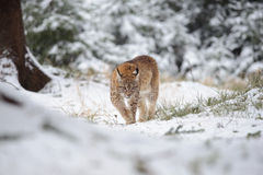 Eurasian lynx cub walking in winter colorful forest with snow Stock Photo