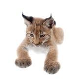 Eurasian Lynx cub on white. Eurasian bobcat cub, lynx lynx, isolated on white background Royalty Free Stock Photos