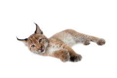 Eurasian Lynx cub on white. Eurasian bobcat cub, lynx lynx, isolated on white background Stock Images