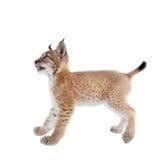 Eurasian Lynx cub on white. Eurasian bobcat cub, lynx lynx, isolated on white background Stock Photos