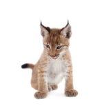 Eurasian Lynx cub on white Stock Image