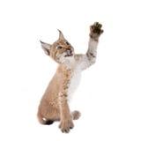Eurasian Lynx cub on white Royalty Free Stock Photo