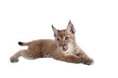 Eurasian Lynx cub on white. Eurasian bobcat cub, lynx lynx, isolated on white background Royalty Free Stock Image