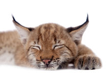 Eurasian Lynx cub on white Royalty Free Stock Images