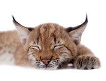Eurasian Lynx cub on white. Eurasian bobcat cub, lynx lynx, isolated on white background Royalty Free Stock Images