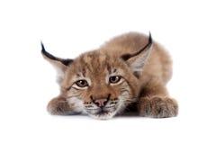 Eurasian Lynx cub on white Stock Images