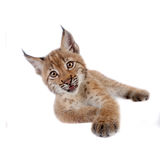 Eurasian Lynx cub on white Royalty Free Stock Image