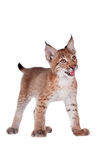 Eurasian Lynx cub on white Stock Photography