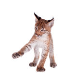 Eurasian Lynx cub on white Stock Image