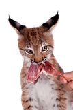 Eurasian Lynx cub on white Royalty Free Stock Photos