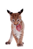 Eurasian Lynx cub on white Stock Photos