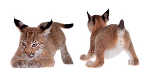 Eurasian Lynx cub on white Royalty Free Stock Photo