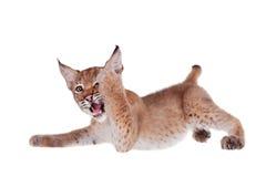 Eurasian Lynx cub on white. Eurasian bobcat cub, lynx lynx, isolated on white background Stock Photo