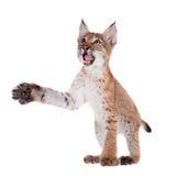 Eurasian Lynx cub on white. Eurasian bobcat cub, lynx lynx, isolated on white background Royalty Free Stock Photography