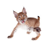 Eurasian Lynx cub on white Royalty Free Stock Photography