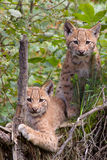 Eurasian lynx cubs. Two Eurasian lynx (Lynx lynx) cubs Royalty Free Stock Images