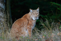 Eurasian Lynx in dark green forest, Czech republic. Eurasian Lynx in dark green forest Stock Images