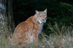 Eurasian Lynx in dark green forest, Czech republic Stock Images