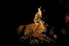 Eurasian lynx. In the dark lighten by sun Royalty Free Stock Images