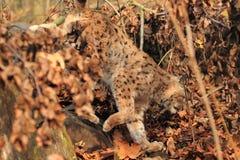 Eurasian lynx. The eurasian lynx descending in the forest Stock Photography