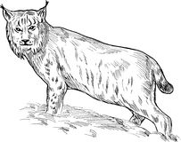 Eurasian lynx drawing Stock Photo