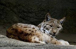 A Eurasian Lynx. This is an early Spring picture of a Eurasian Lynx resting on a high ledge in its compound at the Lincoln zpark Zoo located in Chicago, Illinois Royalty Free Stock Photo