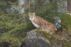 Eurasian Lynx female Stock Image