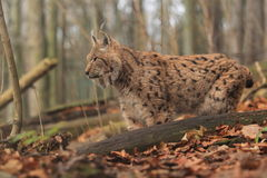 Eurasian lynx. In the forest Royalty Free Stock Photo