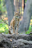 Eurasian Lynx in the forest. Close Eurasian Lynx in the forest Royalty Free Stock Images
