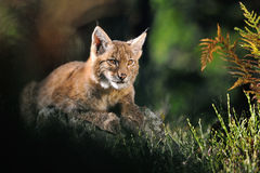 Eurasian lynx in forest Stock Photos