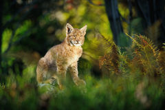 Eurasian lynx in forest Stock Images