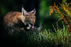 Eurasian lynx in forest Stock Photo