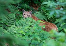 Eurasian lynx in the forest looking out of the shrubbery royalty free stock photos
