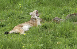 Eurasian Lynx gaping. Eurasian Lynx resting in green grassland while gaping Royalty Free Stock Images