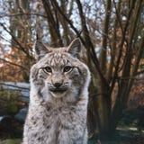 Eurasian Lynx in Germany. Eurasian Lynx Lurking on the grass Stock Photos