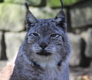 Eurasian lynx head Stock Photography