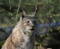 Eurasian lynx head Royalty Free Stock Image