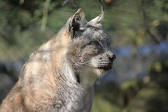 Eurasian lynx head Royalty Free Stock Photos
