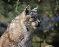 Eurasian lynx head Royalty Free Stock Photography