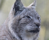 Eurasian lynx head. Eurasian lynx close up of the head. Foto taken in Amersfoort zoo Stock Images